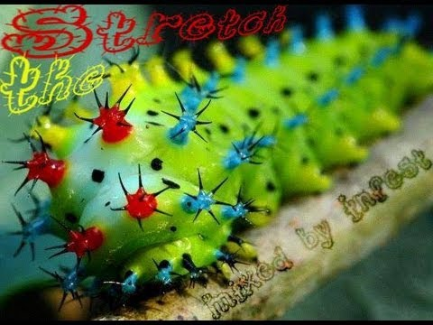 Infest - Stretch The Caterpillar