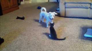 Adorable Maine Coon Kitten And Cairn Terrier Playing