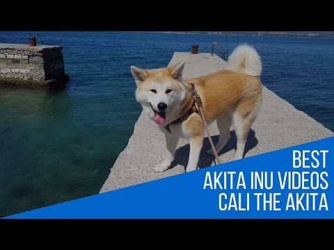 Akita Inu - fun day on the seaside (Japanese Akita, 秋田犬)