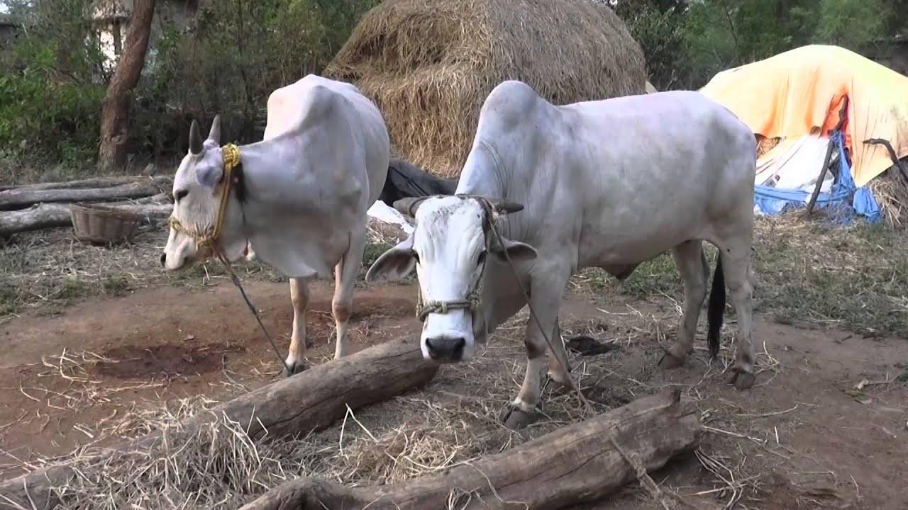 H F Cattle India VILLAGE-BULL-AG...