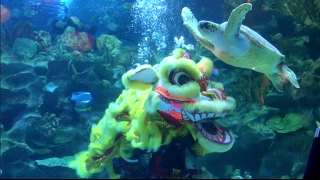 Giant Turtle Joins Underwater Lion Dance At KLCC Aquaria