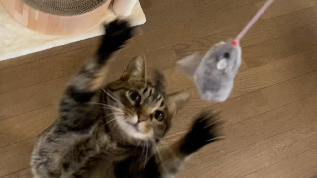 凶暴猫の大好きなネズミのおもちゃを見せた結果...