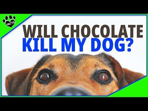Will Chocolate Kill My Dog? Help!