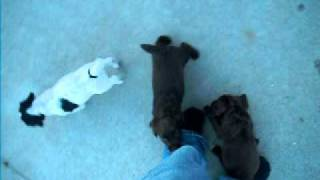 English Cocker Spaniel Puppies Omaha -- Dublem Gundogs