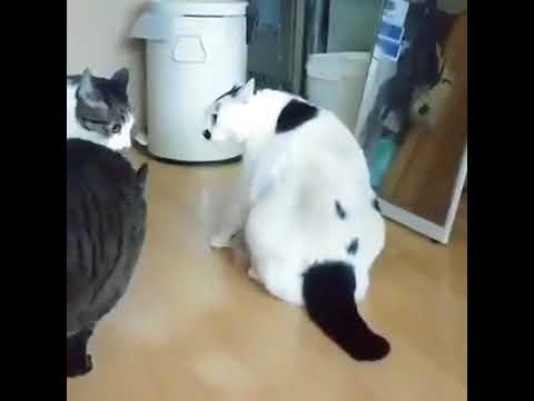 Толстый кот мигом остановил драку