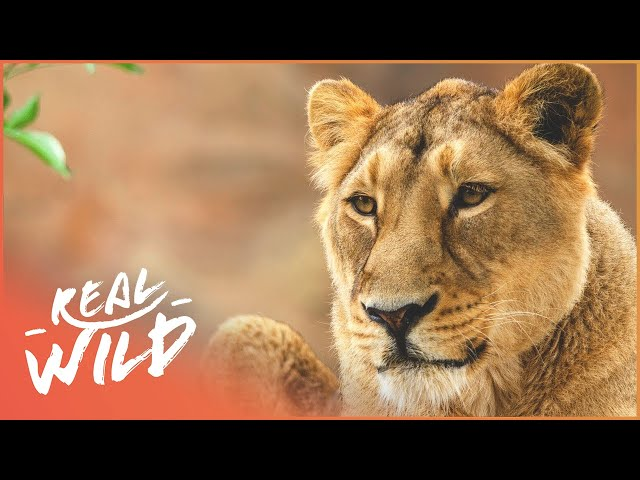 Everyone Is Looking Forward To The Lioness Giving Birth | Zoo Days | Real Wild