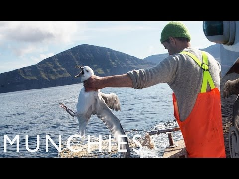 Fat Birds Are Easy Prey: Fulmar Hunting in the Faroe Islands