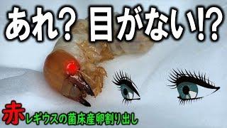 レギウスオオツヤクワガタ・菌床産卵・産卵セット・割り出し・カワラ菌...