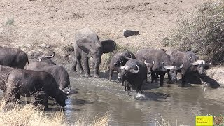 Young Elephant Charge Buffalo Herd