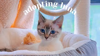 adopting a new siamese kitten  | introducing to our older cat, texas cat adoption