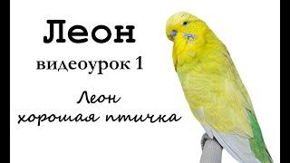 """🎤 Учим попугая по имени Леон говорить, видеоурок 1: """"Леон хорошая птичка"""""""