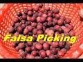 A Short on Falsa Grewia  Asiatica Picking| Phalsa|