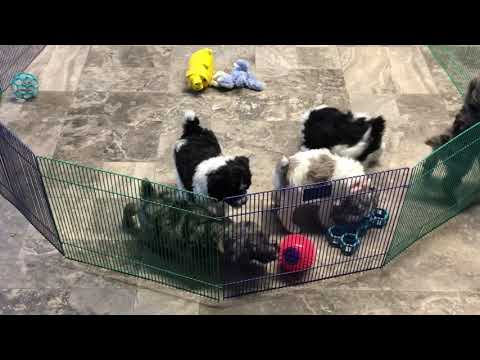 Lilly's schnoodle puppies 2/1/19