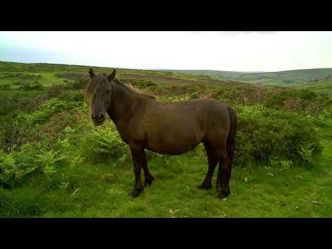 June9 Dartmoor Ponies