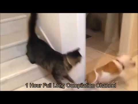 Gatos Divertidos y Chistosos Loquendo: Intenta ver este Video SIN REIRTE!