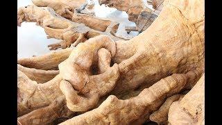 Gốc cây cổ trả giá 30 tỷ không bán ở miền Tây!