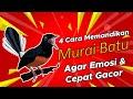 Wajib Tahu  Cara Memandikan Burung Murai Batu Yang Baik Agar Emosi Dan Cepat Gacor Kicau Q  Mp3 - Mp4 Download