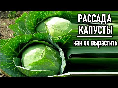 Как вырастить рассаду капусты  Сроки посева и правила выращивания рассады капусты