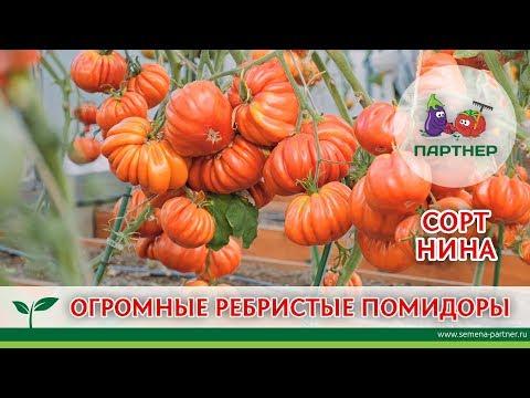 ОГРОМНЫЕ РЕБРИСТЫЕ ПОМИДОРЫ. СОРТ НИНА.   урожайный   агрофирма   томатов   теплице   партнер   огороде   томаты   семена   огород   купить