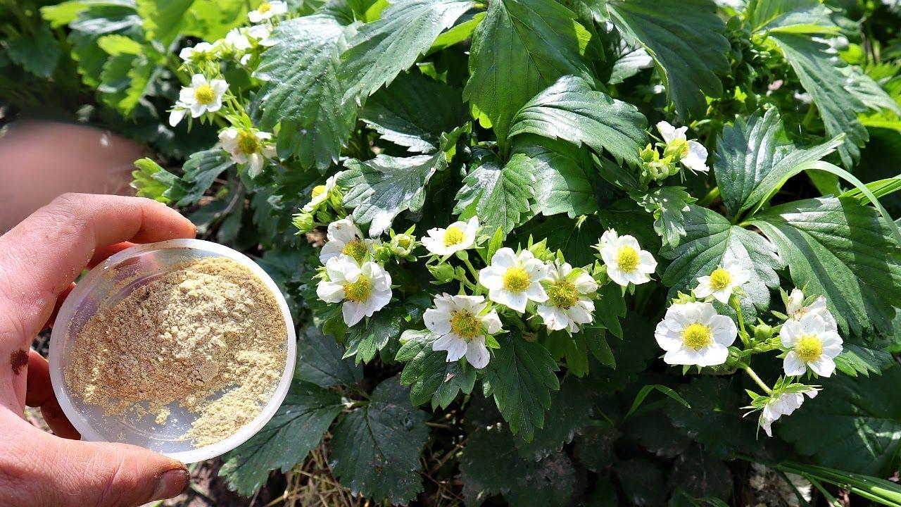 Хитрые садоводы посыпают этим клубнику в период цветения! Горчичный жмых от вредителей и болезней