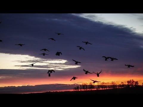Alberta Pea Field Duck Hunting - Fowled Reality