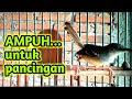Pancingan Ciblek Ampuh Mempercepat Ciblek Gacor Dan Ciblek Ngebren Burung Ciblek  Mp3 - Mp4 Download