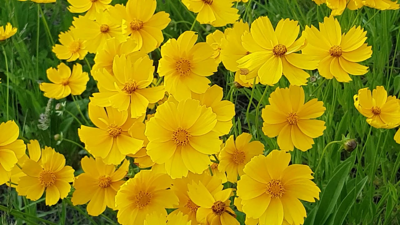 Unidentified Yellow Flowers With Orange Center Youtube