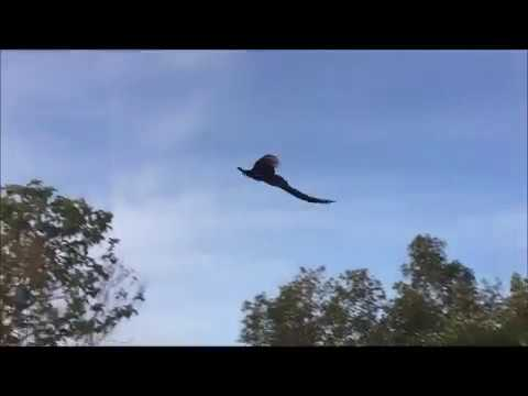 Flying Peacock Compilation