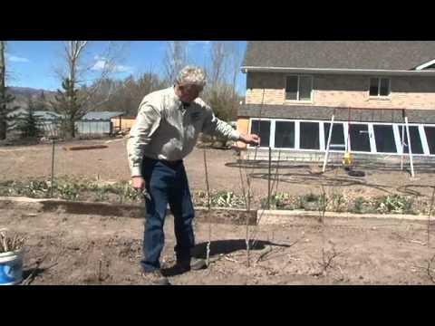 How to Plant Poplars