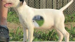 12 Weeks Old Bull Terrier Female - The Four Horsemen Kennel