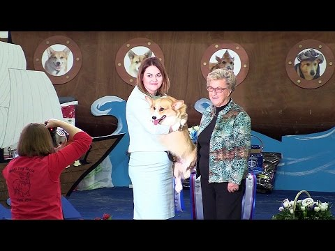 """Welsh corgi pembroke. Dog - """"Open"""" class at the Russian Club National Specialty show 2017."""