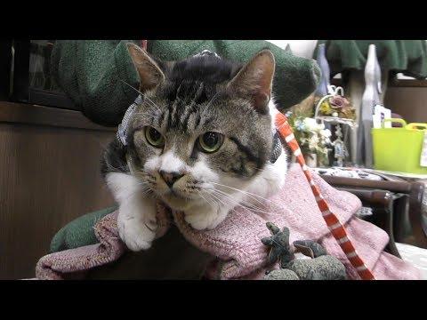 診察が終わればおとなしくなる猫リキちゃん☆キャットタワーの乗り方おかしくない?自宅に帰ればカリカリ爆食い【リキちゃんねる 猫動画】Cat video キジトラ猫との暮らし
