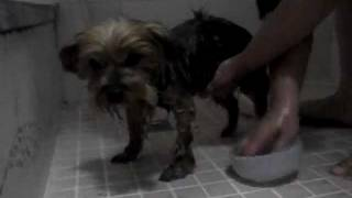 my dog took a bath... 愛犬の入浴。 yorkshire terrier. power yorkie ...