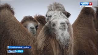 У алтайских верблюдов начался брачный сезон и их отпустили на вольную прогулку