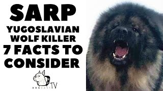 Before You Buy a Dog  SARPLANINAC  7 facts before you choose them! DogCastTV!