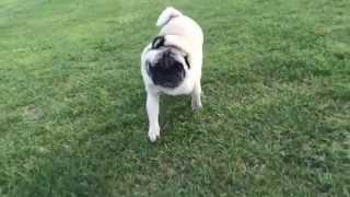 Sonny The Pug