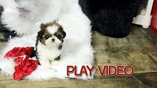 Adorable Face Teacup Shih Tzu