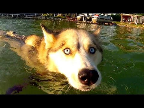 Siberian Husky Dog SWIMS!  Shelby LOVES Water! GoPro Hero2 - Slow Motion Dog Shake