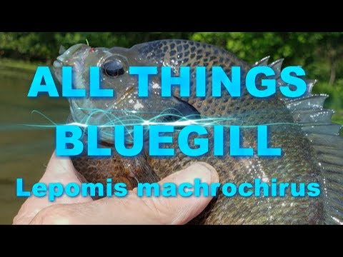 All Things BLUEGILL with a Bass and Red Ear Bonus