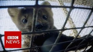 Inside a Russian fur farm - BBC News
