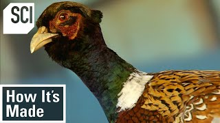 How It's Made: Pheasant Breeding