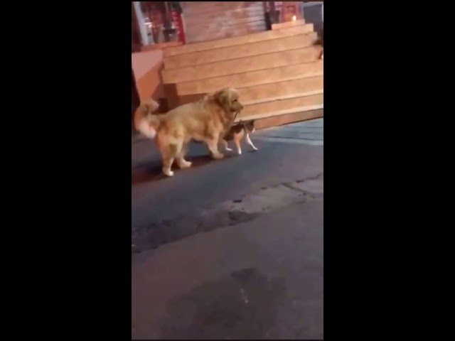 Dog stops a cat fight lol