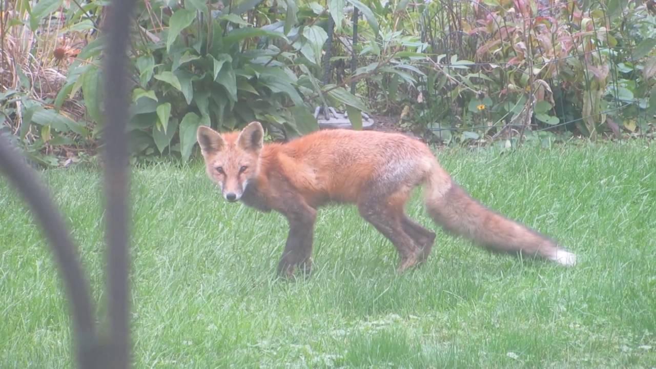 Fox in my backyard marking its territory - YouTube