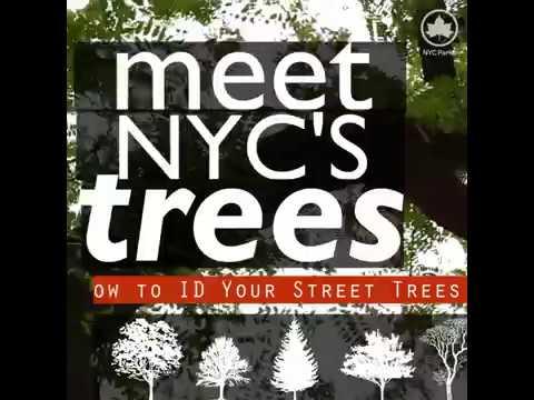 Meet NYC's Trees: Honeylocust