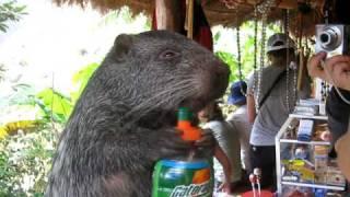 Big guinea pig like animal drinks Gatorade - Funny!
