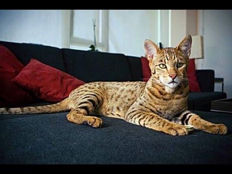 Top 10 Most Expensive Cat Breeds    Top 10