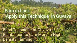 High Density (High income)Best Guvava Farming.Book Your Plants 40₹ to 60₹ (Big Fruit) call7535875358