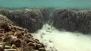 Pesci Farfalla Dal Vessillo In Mezzo Alle Madrepore   Maldive 2014