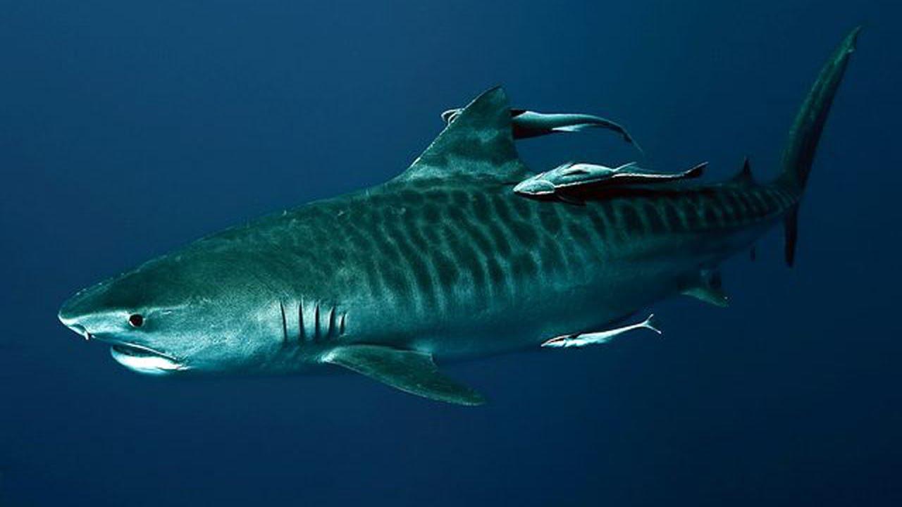 the life aquatic with captain matthew: jaguar shark - youtube