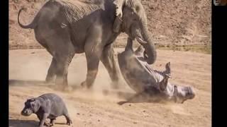 Интересные бои слонов   атаки слонов